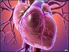 Kalp Hücreleri Yaşam Boyu Yenileniyor